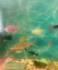 Акулий Балу(барбус), Каменка