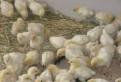 Бройлеры, утки, гуси, индюшата, цесарята, голошейка