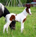 Пони и кони на продажу, Пушкин