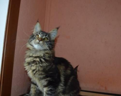 Мейн кун, черный дымный котик Люцифер