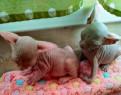 Котята породы Донской сфинкс