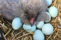 Инкубационные яйца куриц породы Амераукана, Санкт-Петербург