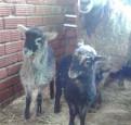 Бараны, овцы с ягнятами