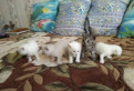 Продам Шотландских котят