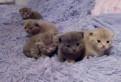 Шотландские котята, Санкт-Петербург