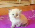 Колор пойнт британские котятки