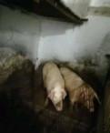 Свиноматка и хряк, Кузьмоловский
