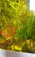Аквариумное растение, Будогощь