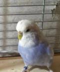 Попугай волнистый получех самка