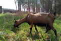Чешская комолая коза
