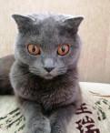 Отдам шотландскую кошку