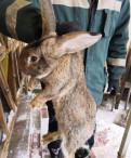 Продам кроликов породы фландеры