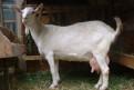 Продам взрослую молочную козу