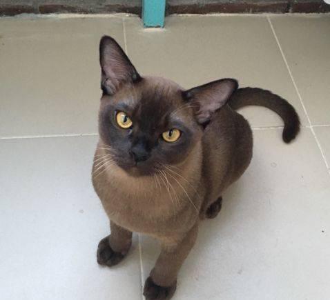 Бурманский котёнок ищет любящих хозяев