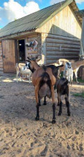 Альпийские и Нубийские дойные козы