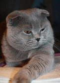 Скоттиш-фолд приглашает кошечку на вязку