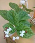 Домашние цветы комнатные растения клеродендрум диф