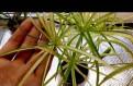 Циперус очереднолистный зеленый и варегантный