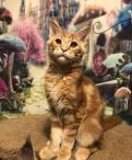 Котята мейн кун питомник Sheremy