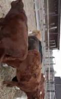 Телята, бычки (казахский белоголовый и сементалка), Первомайское
